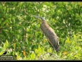 bare-throated-tiger-heron-2013-04-20-san-blas-img_3963